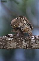 Ferruginous Pygmy-Owl, Glaucidium brasilianum, adult eating on mouse prey, Willacy County, Rio Grande Valley, Texas, USA, June 2004
