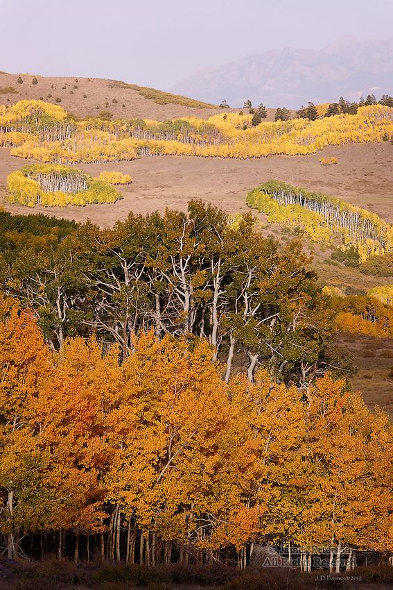 Generations of Aspens, Boulder Mountain, Utah