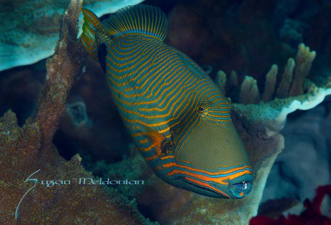 Orange Lined Triggerfish, Balistapus undulatus, Apo Isl.,Visayas, Philippines 2017