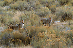 Coyotes, Yellowstone National Park, Wyoming