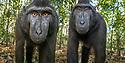 Inquisitive juvenile Sulawesi or Celebes crested macaques or Sulawesi or Celebes black macaques (Macaca nigra)(known locally as yaki or wolai). Tangkoko National Park, Sulawesi, Indonesia.