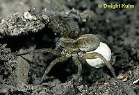 LC01-024a  Wolf Spider - with egg case - Trochosa terricola