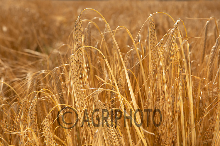 Winter Barley ready to harvest<br /> ©Tim Scrivener Photographer 07850 303986<br />      ....Covering Agriculture In The UK....