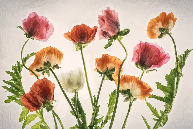 Close up of Oeiental Poppies bouquet