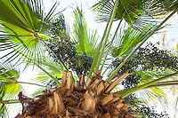 Fruiting seeds of Chinese Fan Palm tree (Livistonia chinensis) with radiating leaves from top of trunk; Arecaceae monocot plant family
