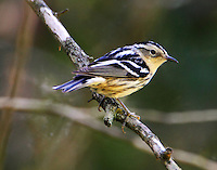 Female black and white warbler