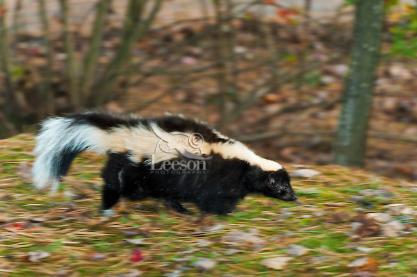 Striped Skunk (Mephitis mephitis) ranges through southern Canada and most of USA. Fall, Nova Scotia, Canada. Additional blur added to image in processing.