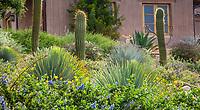Dasylirion ? with Ceanothus griseus horizontalis 'Yankee Point' flowering groundcover California native shrub with columnar cactus Argentine Saguaro (Trichocereus terscheckii); Schaff garden, Southern California