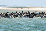Gray Seals hauled out on the Chatham Bars, Cape Cod.  Medium shot view of colony hauled out on sand bar.