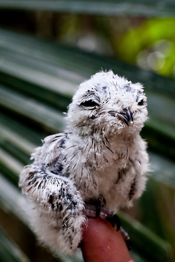 A Harpy eagle found by a firefighter inside the Mayan Biosphere.