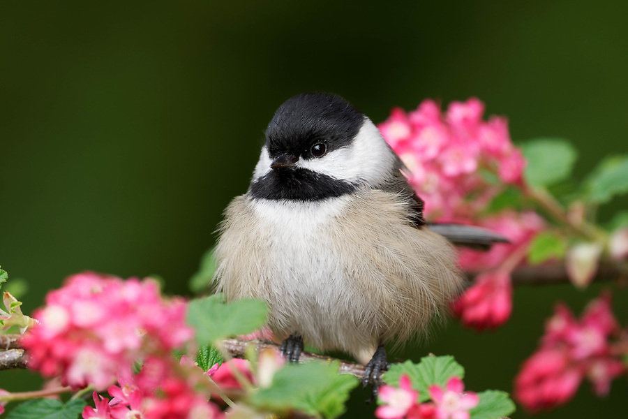 Black-capped chickadee perched on red flowering currant branch, Snohomish, Washington, USA