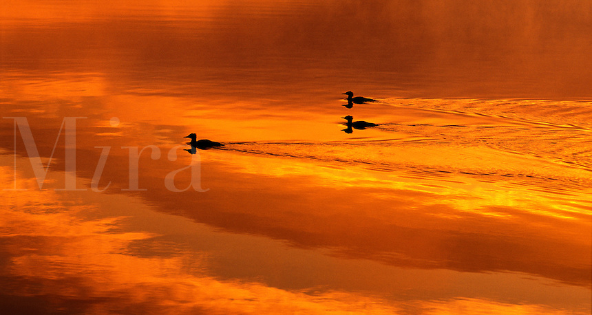Three ducks on a lake at sunrise. Clouds reflecting in water