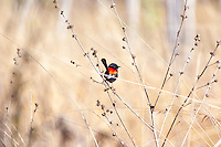 Red-Backed Fairy-Wren, Mareeba Wetlands, Queensland, Australia