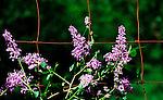 Lilac on vinyard fence in Husum Valley, Washington