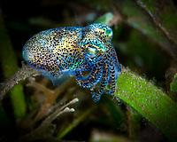 Bobtail squid, Euprymna berryi, Dumaguete, Philipines, Pacific Ocean