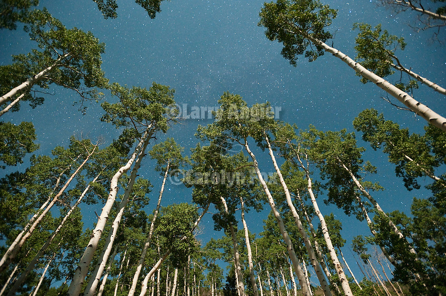 Aspen trees and trunks by moonlight with stars, Fishlake National Forest, Utah