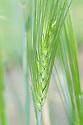 Hordeum vulgare 'Siberia', early July. A form of barley.