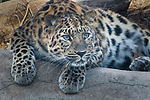 Liski, the mother Amur Leopard looking pensive as if ready to pounce.