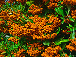 Pomes (berries) of pyracantha shrubs used as  a hedging plant in Oxfordshire, UK photographed in September. The berries provide a food for wildlife, especially blackbirds, with the approach of winter.
