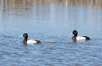 Two male Lesser Scaups, Aythya affinis, swimming at Tule Lake National Wildlife Refuge, Oregon