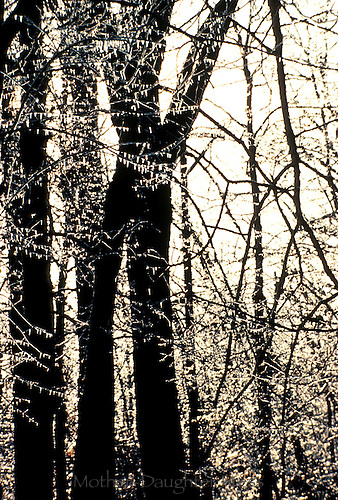 Ice storm and light captures forest as silhouette, midwest USA