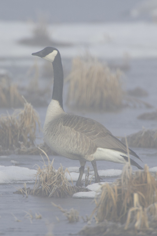 Canada Goose on the ice and in the fog