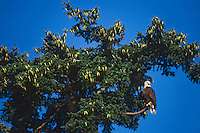Bald Eagle sitting near top of douglas fir tree, Pacific Northwest.