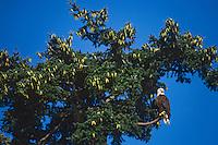 Bald Eagle sitting near top of douglas fir tree, Pacific Northwest.