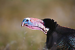 tom turkey with neck out-stretched while gobbling during spring mating season