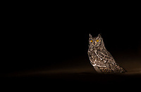 Our visit to Tswalu presented my first opportunity to see and photograph the Spotted Eagle-owl. We ended up seeing several.