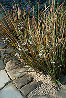 Ornamental grass Libertia peregrinans (Orange Libertia), Salvia officinalis planted in corner of garden bed wall and pathway