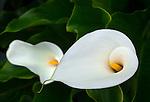Close-up of calla lily (Zantedeschia aethiopica)