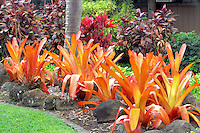 A variety of Bromeliads. Maui Tropical Plantation. Maui. Hawaii