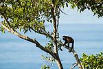 Mantled Howler Monkey (Alouatta palliata) male in tree, Osa Peninsula, Costa Rica