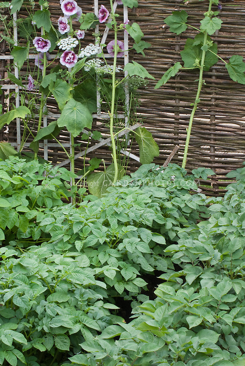 Potatoes and hollyhocks in vegetable & flower garden with wicker willow fence and trellis, showing potato plants habit