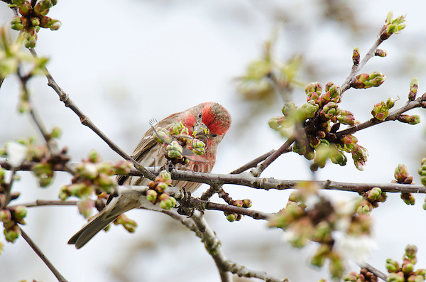 Male House Finch (Carpodacus mexicanus) in flowering cherry tree.  Pacific Northwest.  April.