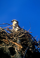 Osprey on nest, Everglades National Park, Flamingo, Florida A large fish-eating hawk.