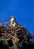 Osprey on nest, Everglades National Park, Flamingo, Florida A large fish-eating hawk.