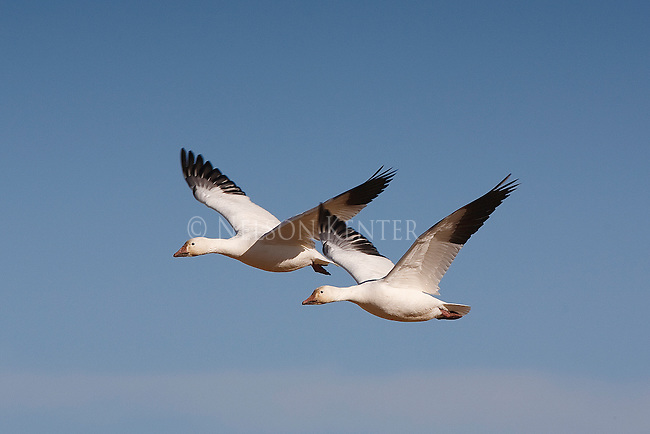 Snow Geese flying over wheat fields in Montana on their spring migration north. Near Freezeout Wildlife Refuge