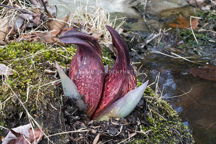 Symplocarpus foetidus flowers, reddish blooms emerging before foliage in early spring