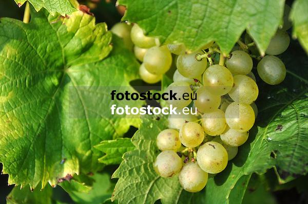 Weißwein Trauben am Weinstock