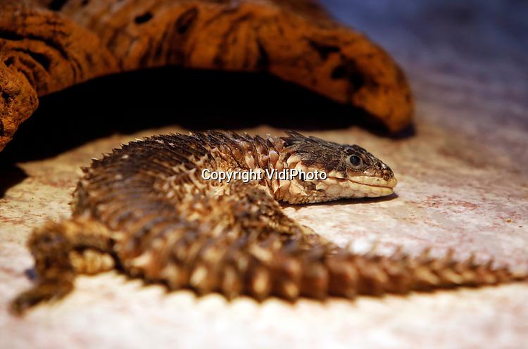 Foto: VidiPhoto<br /> <br /> VLISSINGEN – In reptielenzoo Iguana leven de meest wonderlijk reptielen en amfibieën. De meeste zijn door de douane of bij particulieren in beslag genomen. De Vlissingse reptielenopvang probeert waar mogelijk de dieren te herplaatsen in dierentuinen of weer terug te zetten in de natuur. Waar dat niet mogelijk is zorgt Iguana zelf voor opvang en zijn de dieren voor bezoekers te zien. Foto: Cordylus giganteus - reuzen gordelstaart hagedis.