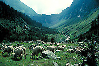 Sheep grazing in alpine meadow. Switzerland Europe.