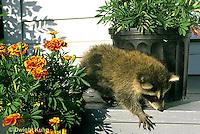MA25-161z  Raccoon - young raccoon exploring - Procyon lotor