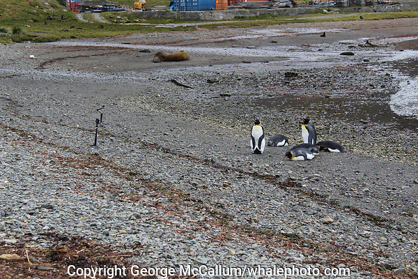 King Penguins, Aptenodytes patagonicus, on beach with Antarctic Fur seals, Arctocephalus gazella, and southern Elephant seals, Mirounga leonina, along with tourists Gopro cameras at Grytviken whaling station, South Georgia, Southern Ocean, Antarctica