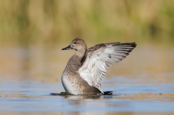 Gadwall (Anas strepera), male flapping wings, Dinero, Lake Corpus Christi, South Texas, USA