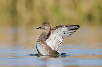 Gadwall (Anas strepera), male flapping wings, Dinero, Lake Corpus Christi, South Texas, USA