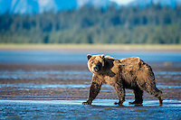 Helpfully strolling into the gorgeous evening light, this Brown Bear was walking out to the shallows of The Cook Inlet to fish for salmon.  She proved very successful that evening.  Lake Clark National Park, Alaska.