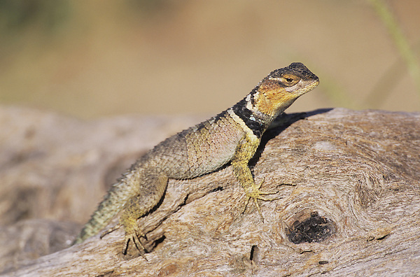 Blue Spiny Lizard (Sceloporus serrifer cyanogenys), adult on log sunning, Starr County, Rio Grande Valley, Texas, USA