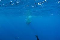 Bryde's whale, Balaenoptera brydei or Balaenoptera edeni, feeding on baitball of sardines, Sardinops sagax, off Baja California, Mexico ( Eastern Pacific Ocean ) #1 in sequence of 9
